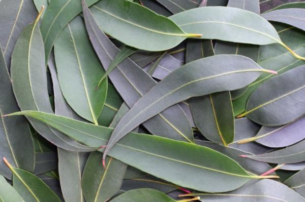 Remedios caseros para que no te piquen los mosquitos - El mejor repelente de mosquitos natural: acetite de eucalipto
