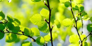 Abedul: propiedades y usos medicinales