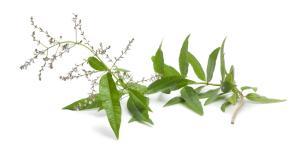 Hierba luisa: propiedades y usos medicinales