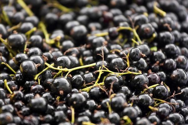 Grosella negra: propiedades y contraindicaciones