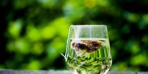 Cómo tomar té verde para adelgazar el abdomen