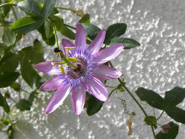 Remédio natural para a depressão - Passiflora para dormir melhor