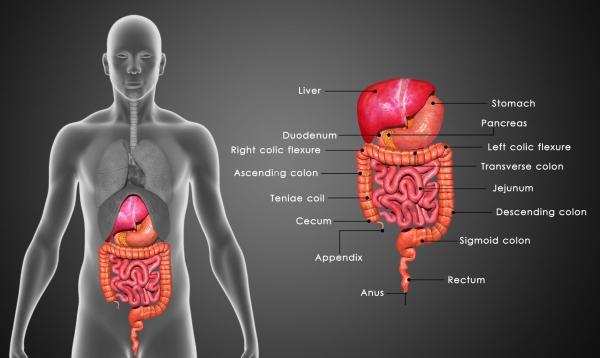 Clorofila líquida: benefícios e contraindicações - Favorece o sistema digestivo